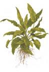 "Cryptocoryne Wendtii ""Green"" 1-2-Grow!"
