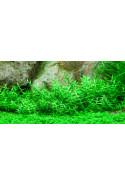 Gratiola viscidula 1-2-Grow!