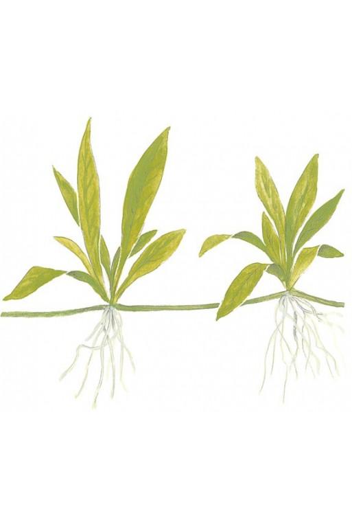 """Helanthium """"Quadriocostatus"""""""