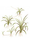 "Helanthium tenellum ""Green"" 1-2-Grow!"