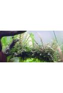 Hygrophila pinnatifida 1-2-Grow!
