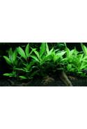 "Hygrophila ""Siamensis 53B"" 1-2-Grow!"