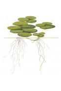 Limnobium laevigatum 1-2-Grow!