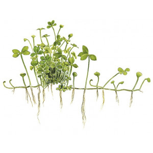 Marsilea hirsuta 1-2-Grow!