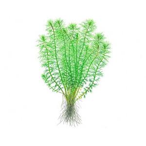 """Myrophyllum """"Guyana"""" 1-2-Grow!"""