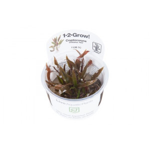 "Cryptocoryne undulatus ""RED"" 1-2-Grow!"