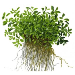 Glossostigma elatinoides 1-2-Grow!