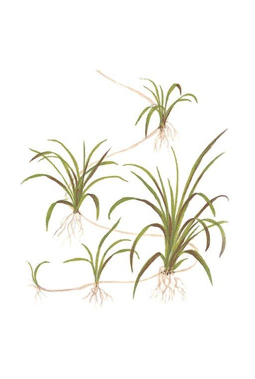 """Helanthium tenellum """"Green"""" 1-2-Grow!"""