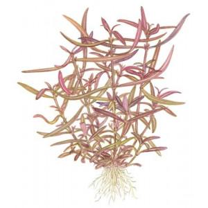 """Hygrophila """"Araguaia"""" 1-2-Grow!"""