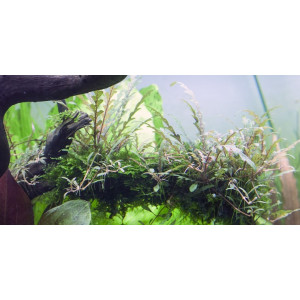 Hygrophila pinnatifida 1-2-Grow!