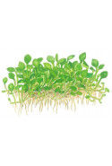 Marsilea crenata 1-2-Grow!