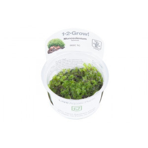 Monosolenium tenerum 1-2-Grow!