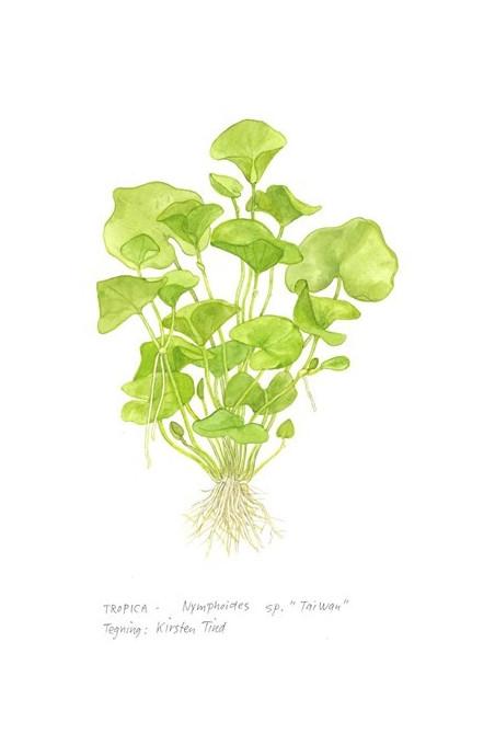 "Nymphoides hydrophylla ""Taiwan"" 1-2-Grow!"