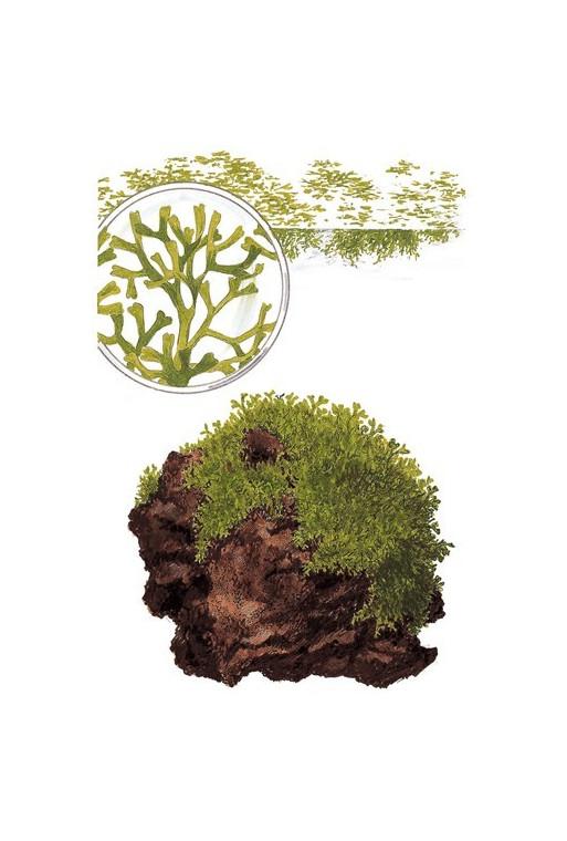 Riccia fluitans 1-2-Grow!