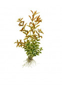 Rotala rotundifolia 1-2-Grow!