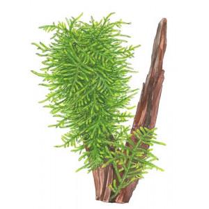 "Taxiphyllum ""Spiky"""