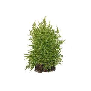 "Taxiphyllum ""Taiwan moss"""