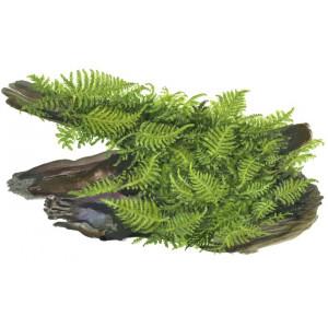 "Vesicularia dubyana ""christmas"""