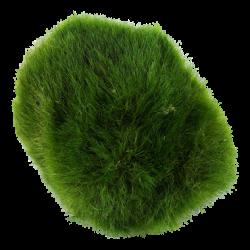 Alge bold - Cladophora...